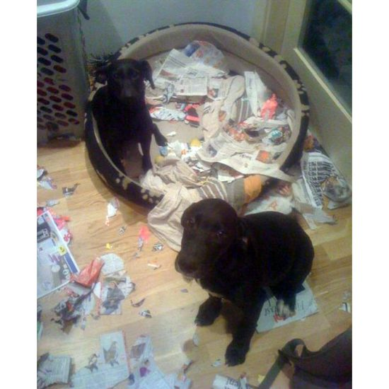 vezes-em-que-um-Labrador-te-surpreendeu-2