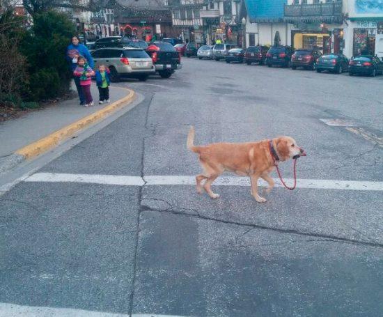 vezes-em-que-um-Labrador-te-surpreendeu-4