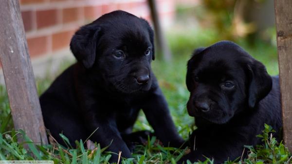 criando-labrador-nomes-para-labradores-preto