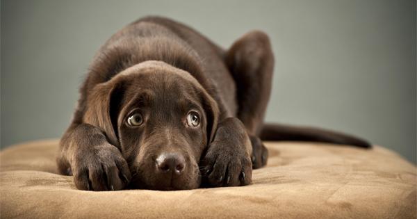 Meu Labrador está com berne e agora? | Criando Labrador